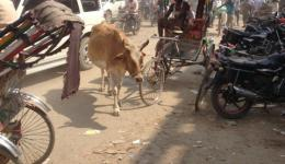 This is typical of Indian roads. Also here, the cows are integrated.