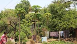Auch Papayabäume wurden im Garten der Leprakolonie gepflanzt.