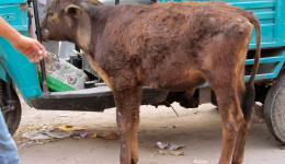 Katrin ist am 01. April gut in Delhi angekommen. Sie wird 13 Tage in Nordindien, gemeinsam mit Guido, zu einigen Orten reisen, die sie im letzten November mit Alexandra besucht hat. Hier ein Kälbchen, gesichtet am Ankunftstag.