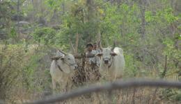 Traditionelle Feldarbeit mit einem Ochsengespann.